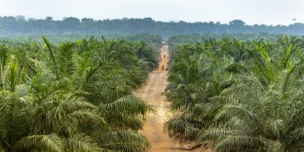 economie,huile de palme,Nigeria,Olam,OPG,gabon,mouila,ONG Muyissi