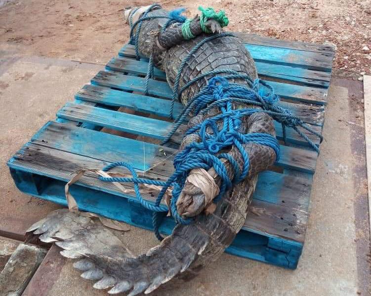 Crocodile,Saurien,GSPM,Aggreko Énergie