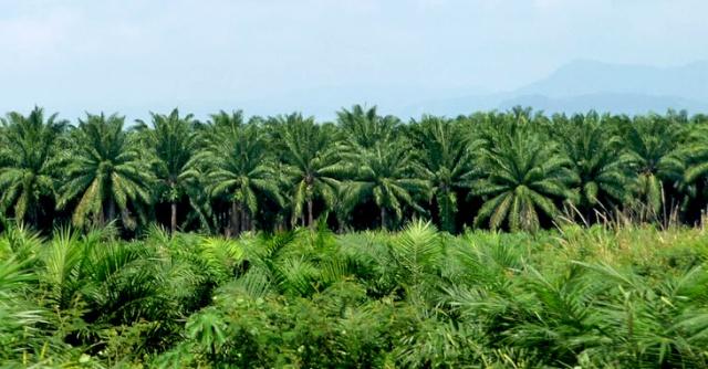 Côte d'Ivoire,palmier à huile,Aboisso