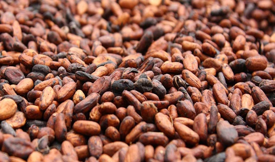 Cacao,Prix bord champ,Campagne 2019-2020