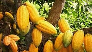 industrie du cacao,Côte d'Ivoire,carte de responsabilité