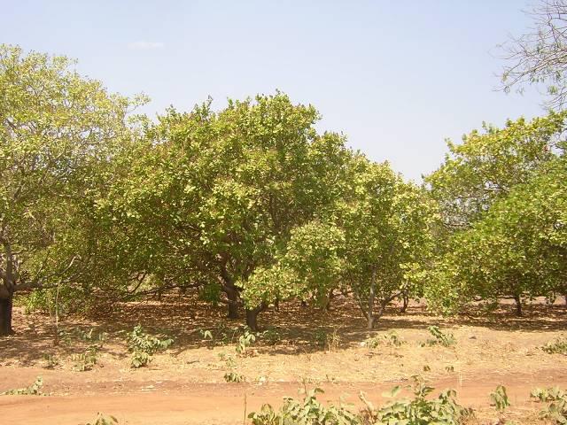 Dabakala,noix de cajou,centaine d'hectares