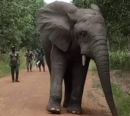 Guitry,direction de la police forestière et de l'eau,Hamed,éléphant,Divo