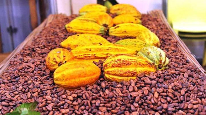 cacao-le-prix-dachat-bord-champ-fixe-a-1000-fcfa-le-kilogramme-pour-la-campagne-2020-2021