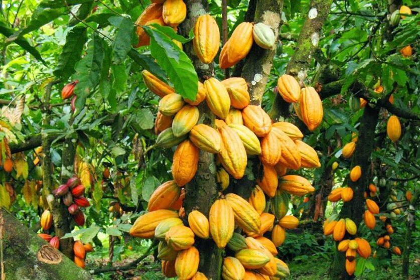 le-cacao-sachete-a-800-f-le-kilogramme-a-vavoua