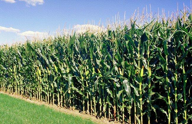 des-agriculteurs-du-departement-doume-recoivent-des-semences-certifiees-de-mais
