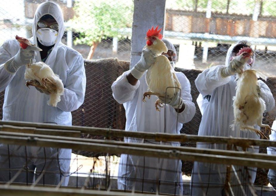 production-animale-des-foyers-de-grippe-aviaire-detectes-dans-des-exploitations-avicoles-au-mali